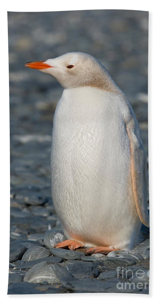 Leucistic Bath Sheet featuring the photograph Gentoo Penguin by John Shaw