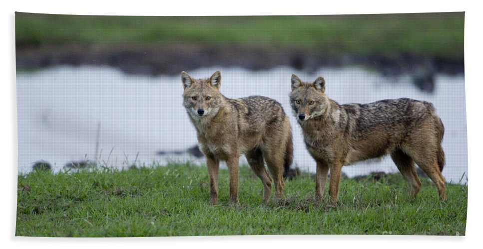 Golden Jackal Hand Towel featuring the photograph Golden Jackal Canis Aureus by Eyal Bartov