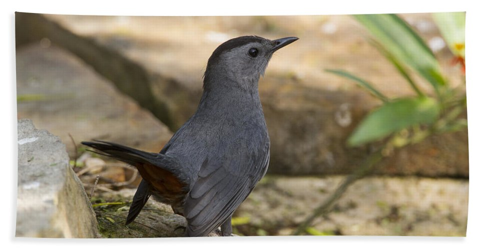 Doug Lloyd Hand Towel featuring the photograph Gray Catbird by Doug Lloyd