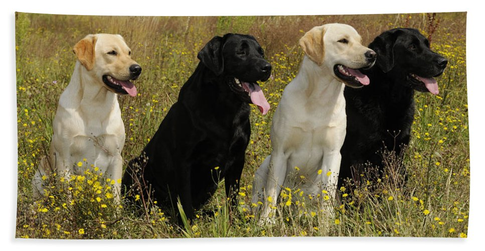 Labrador Retriever Bath Sheet featuring the photograph Labrador Retriever Dogs by John Daniels