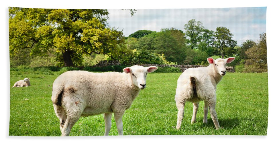 Agriculture Hand Towel featuring the photograph Sheep In Field by Tom Gowanlock