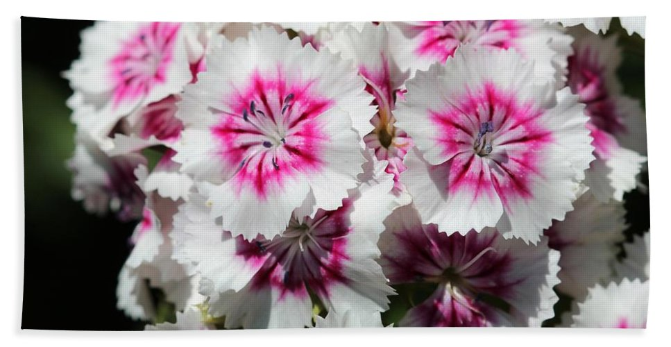 Mccombie Bath Sheet featuring the photograph Sweet William From The Super Duplex Bluepoint Mix by J McCombie