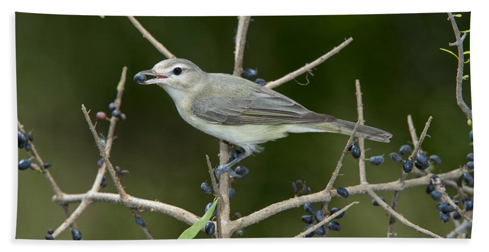Warbling Vireo Hand Towel featuring the photograph Warbling Vireo by Anthony Mercieca