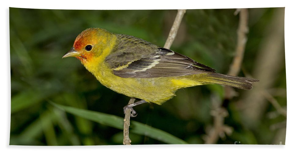 Western Tanager Hand Towel featuring the photograph Western Tanager by Anthony Mercieca