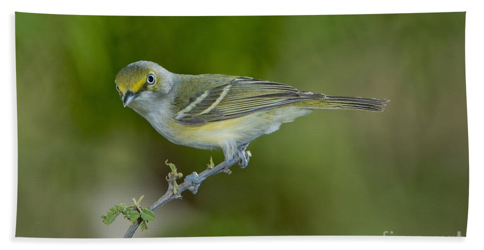 White-eyed Vireo Hand Towel featuring the photograph White-eyed Vireo by Anthony Mercieca