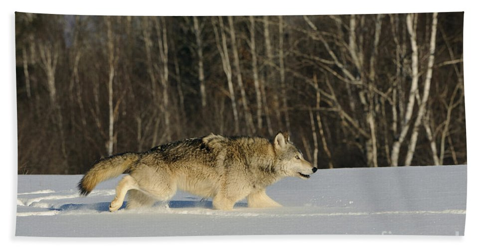 Canis Lupus Bath Sheet featuring the photograph Wolf In Winter by John Shaw