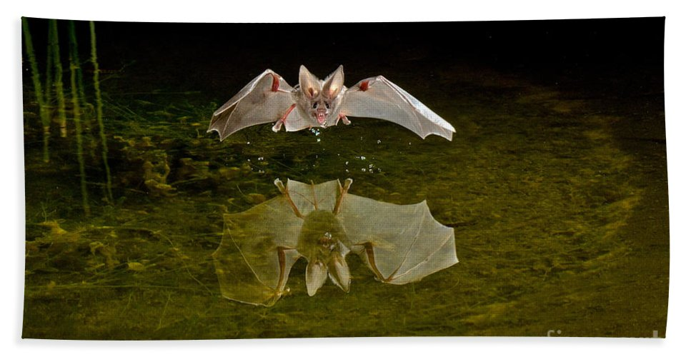 Animal Hand Towel featuring the photograph California Leaf-nosed Bat At Pond by Anthony Mercieca