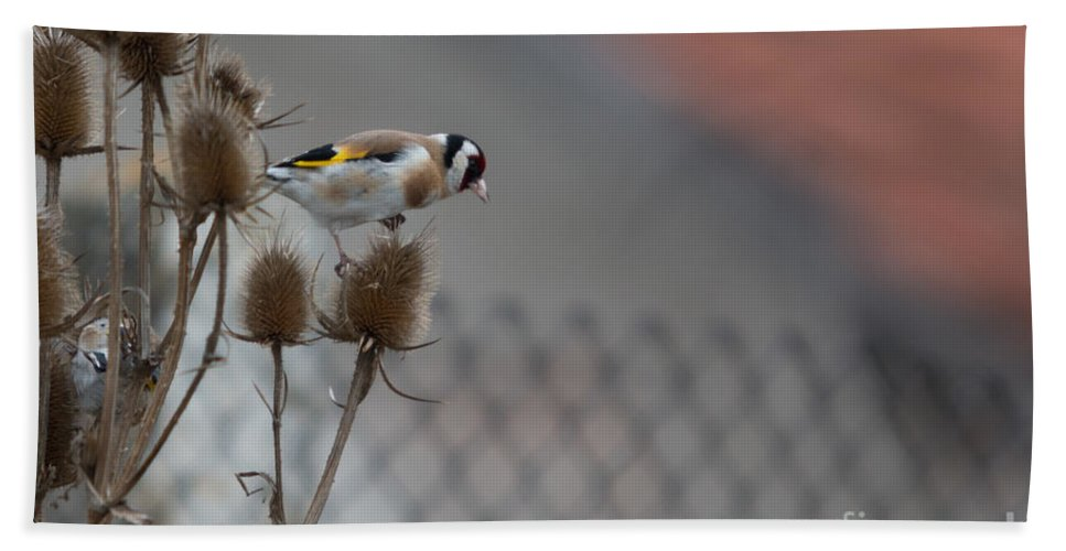 Aves Hand Towel featuring the photograph European Goldfinch by Jivko Nakev