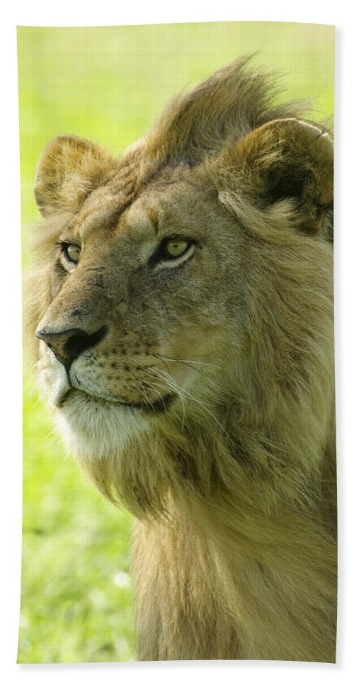 Lion Hand Towel featuring the photograph Golden Boy by Michele Burgess