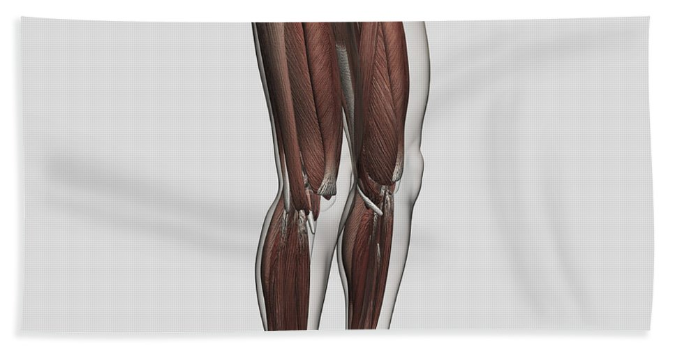 Square Image Bath Sheet featuring the digital art Male Muscle Anatomy Of The Human Legs by Stocktrek Images