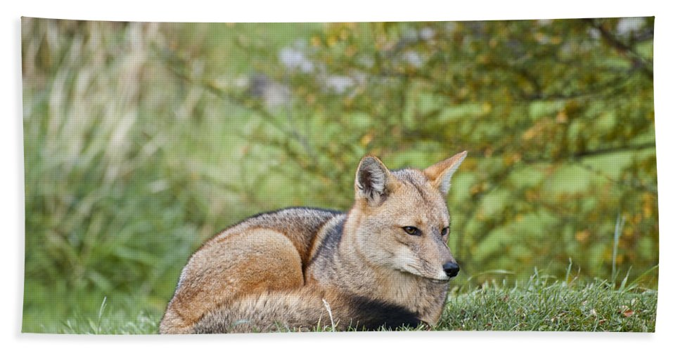 Chilean Fauna Bath Sheet featuring the photograph Patagonian Red Fox by John Shaw