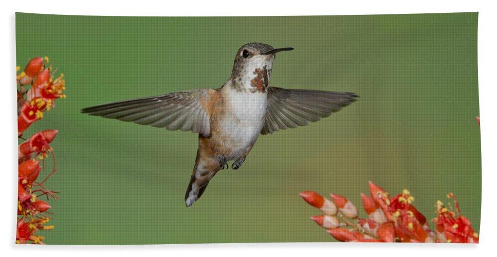 Rufous Hummingbird Hand Towel featuring the photograph Rufous Hummingbird by Anthony Mercieca