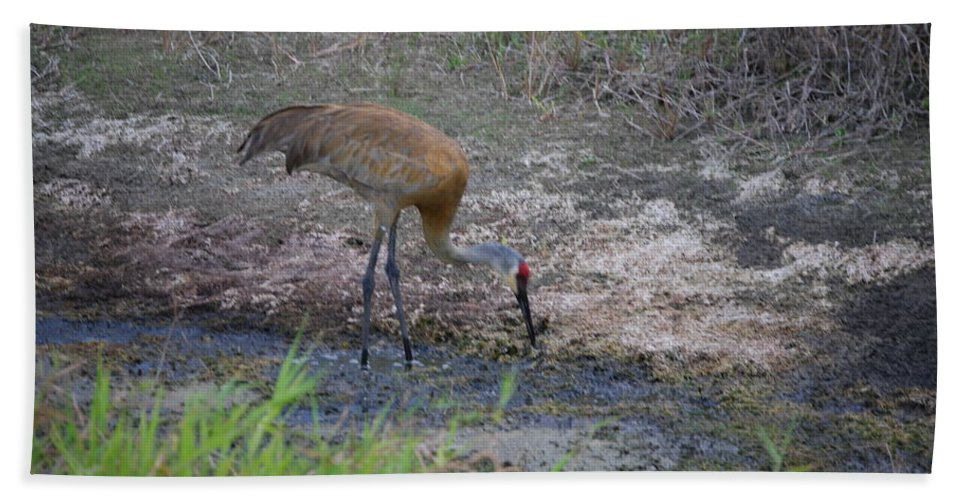 Feeding. Florida Hand Towel featuring the photograph Sandhill Crane by Robert Floyd