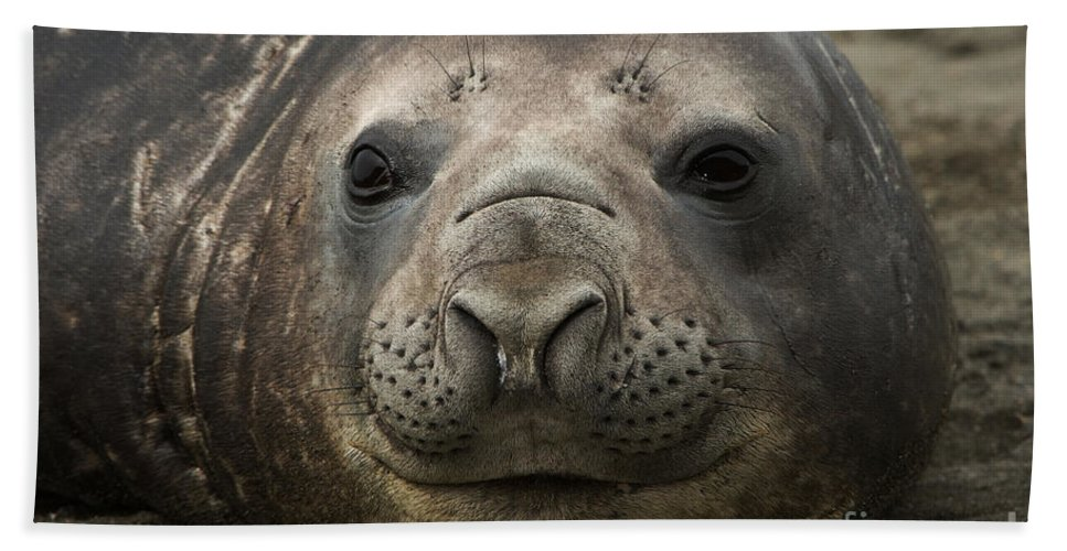 Southern Elephant Seal Bath Sheet featuring the photograph Southern Elephant Seal by John Shaw