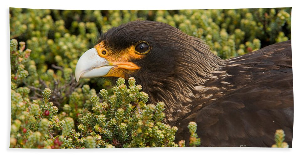 Striated Caracara Hand Towel featuring the photograph Striated Caracara by John Shaw