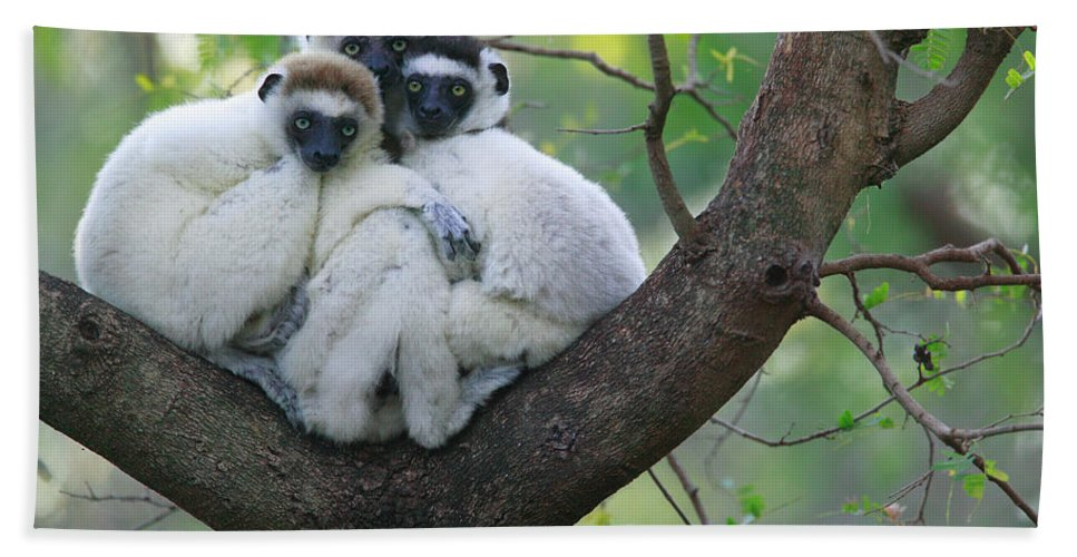Jh Hand Towel featuring the photograph Verreauxs Sifakas Cuddling by Cyril Ruoso