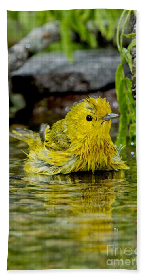 Yellow Warbler Hand Towel featuring the photograph Yellow Warbler by Anthony Mercieca