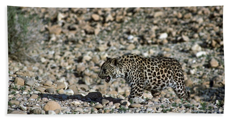 Leopard Hand Towel featuring the photograph Arabian Leopard Panthera Pardus by Eyal Bartov