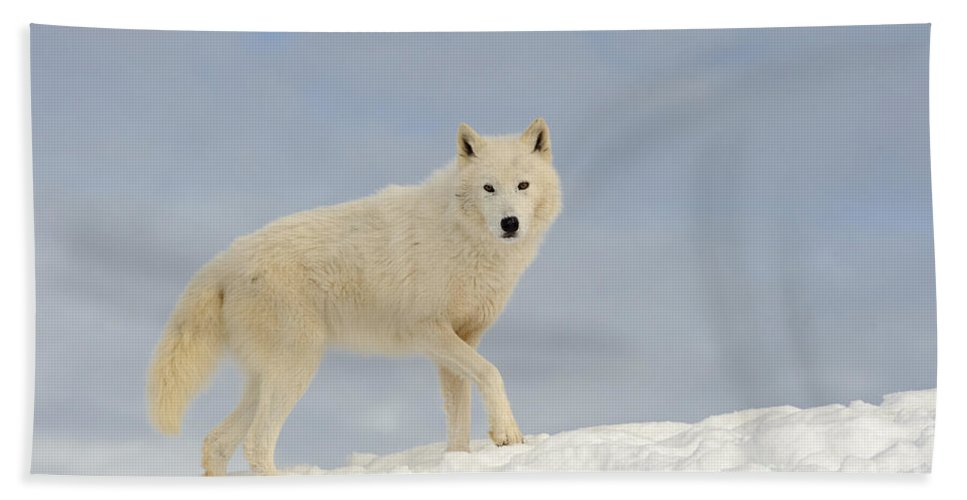 Canis Lupus Arctos Bath Sheet featuring the photograph Arctic Wolf by John Shaw