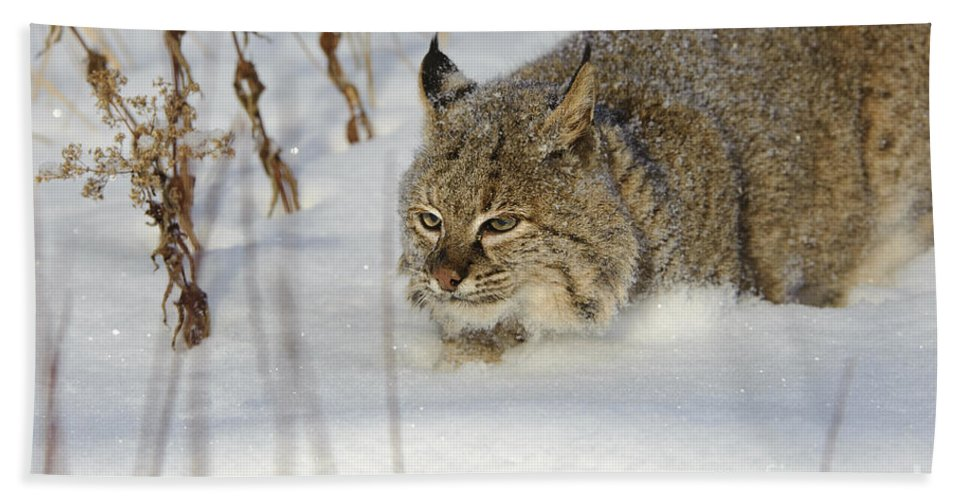 Lynx Rufus Hand Towel featuring the photograph Bobcat by John Shaw