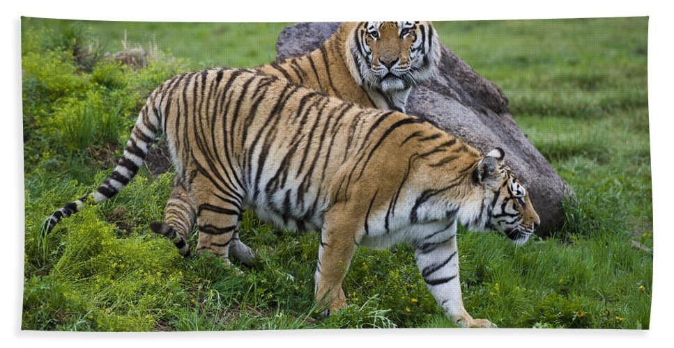 Asia Bath Sheet featuring the photograph Siberian Tigers, China by John Shaw