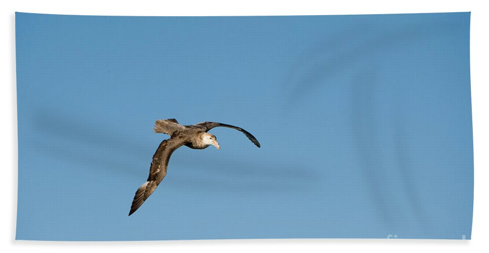 Southern Giant Petrel Bath Sheet featuring the photograph Southern Giant Petrel by John Shaw