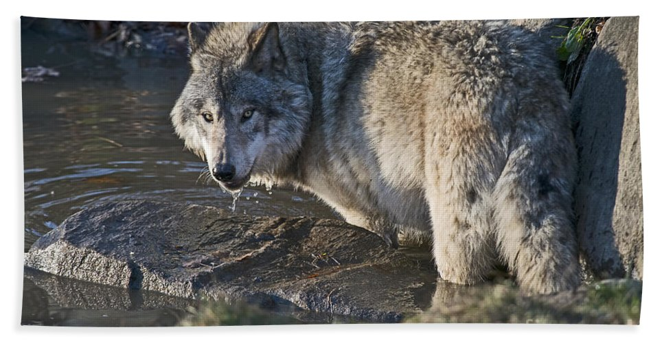 Timber Wolf Photography Bath Sheet featuring the photograph Timber Wolf Pictures by Wolves Only
