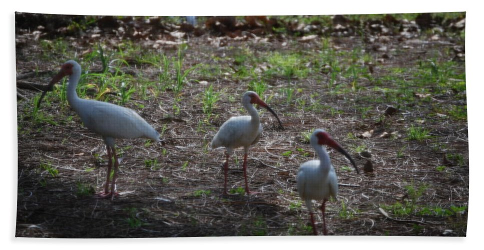 Hunt In Groups Hand Towel featuring the photograph White Ibis by Robert Floyd