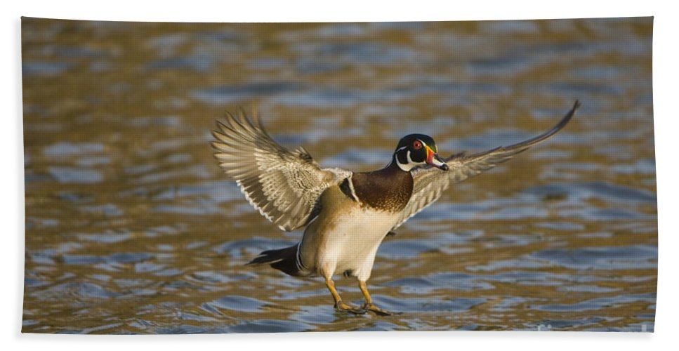 Nature Bath Sheet featuring the photograph Wood Duck by John Shaw
