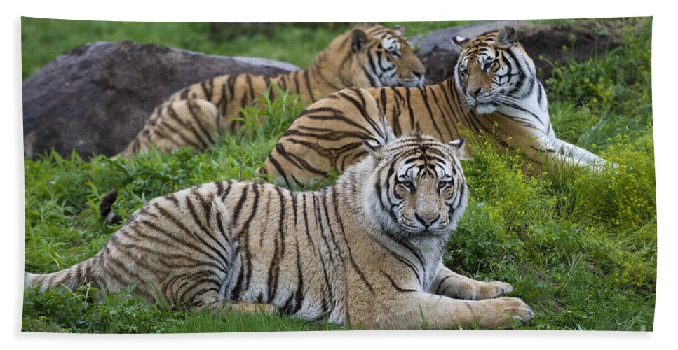 Asia Bath Sheet featuring the photograph Siberian Tigers, China by John Shaw