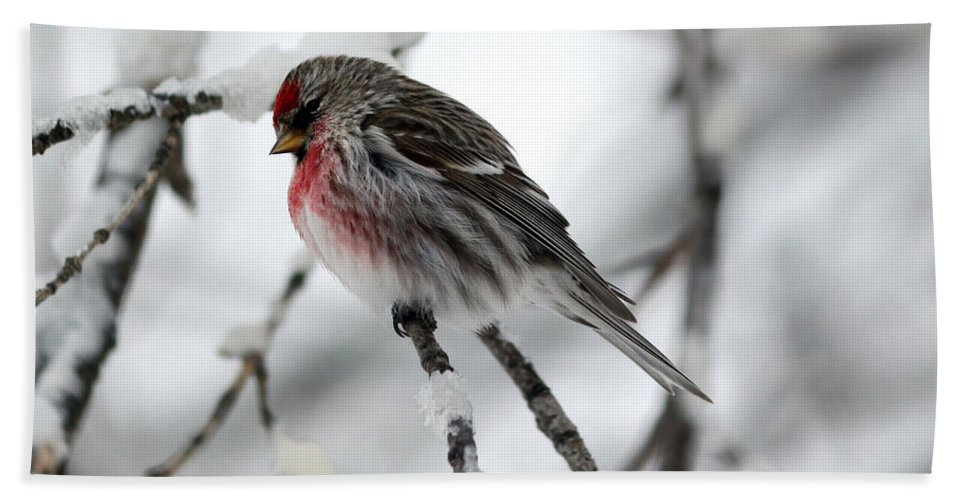 Common Redpoll Hand Towel featuring the photograph Common Redpoll by Lori Tordsen