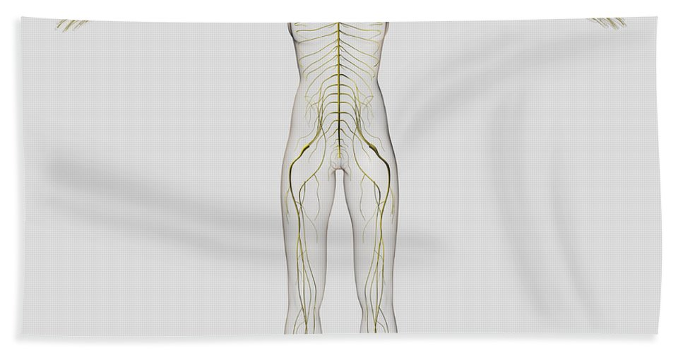 Color Image Bath Sheet featuring the digital art Medical Illustration Of The Human by Stocktrek Images