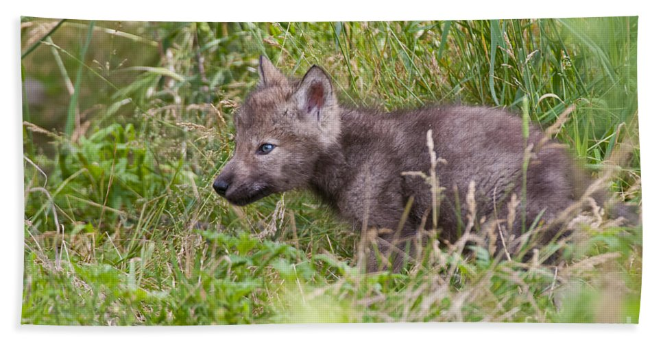 Timber Wolf Hand Towel featuring the photograph Timber Wolf Pup by Wolves Only