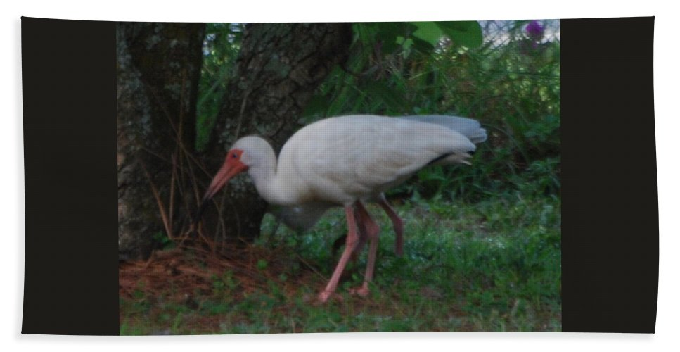 Feeding On Bugs Hand Towel featuring the photograph White Ibis by Robert Floyd