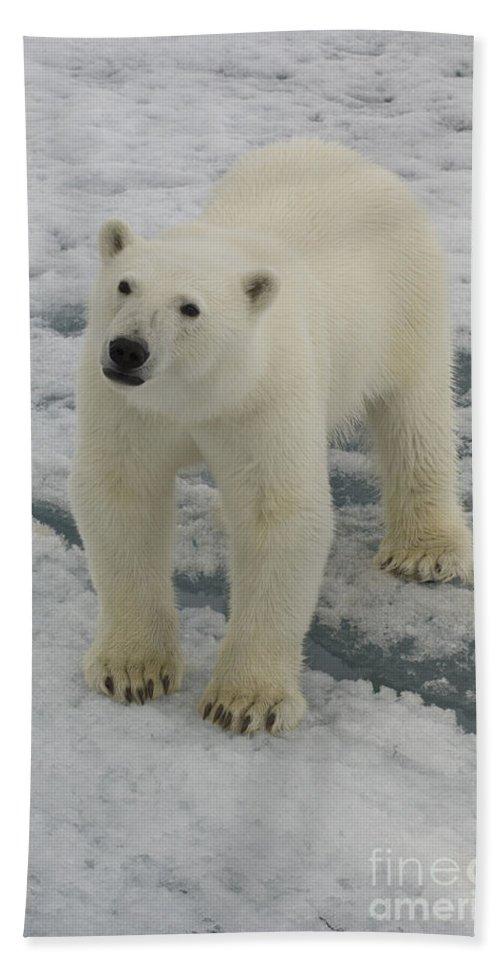 Polar Bear Hand Towel featuring the photograph Polar Bear Crossing Ice Floe by John Shaw