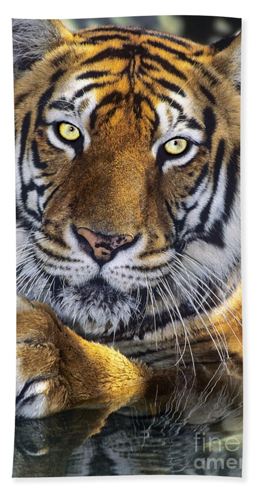 Bengal Tiger Bath Sheet featuring the photograph A Bengal Tiger Portrait Endangered Species Wildlife Rescue by Dave Welling