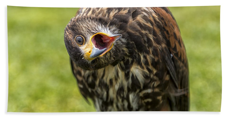 Peregrine; Falcon; Bird; Prey; Bird Of Prey; Feathers Bath Sheet featuring the photograph A Juvenille Peregrine Falcon by Focus Fotos