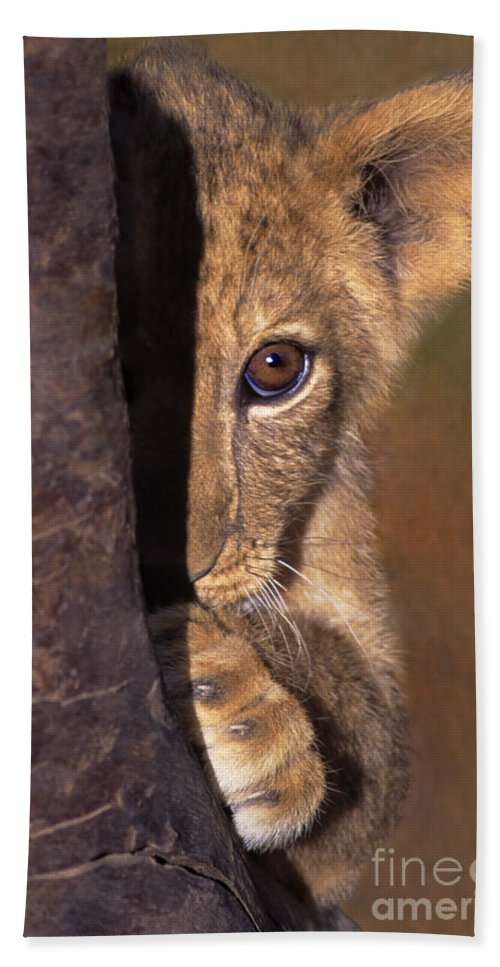 African Lion Bath Sheet featuring the photograph A Lion Cub Plays Hide And Seek Wildlife Rescue by Dave Welling