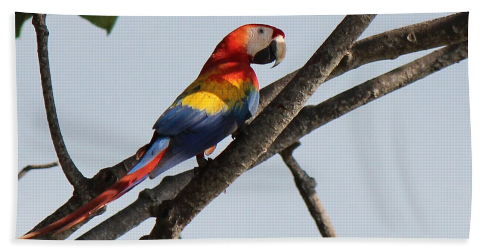 Scarlet Macaw Bath Sheet featuring the photograph A Moment Of Rest by Lorraine Baum