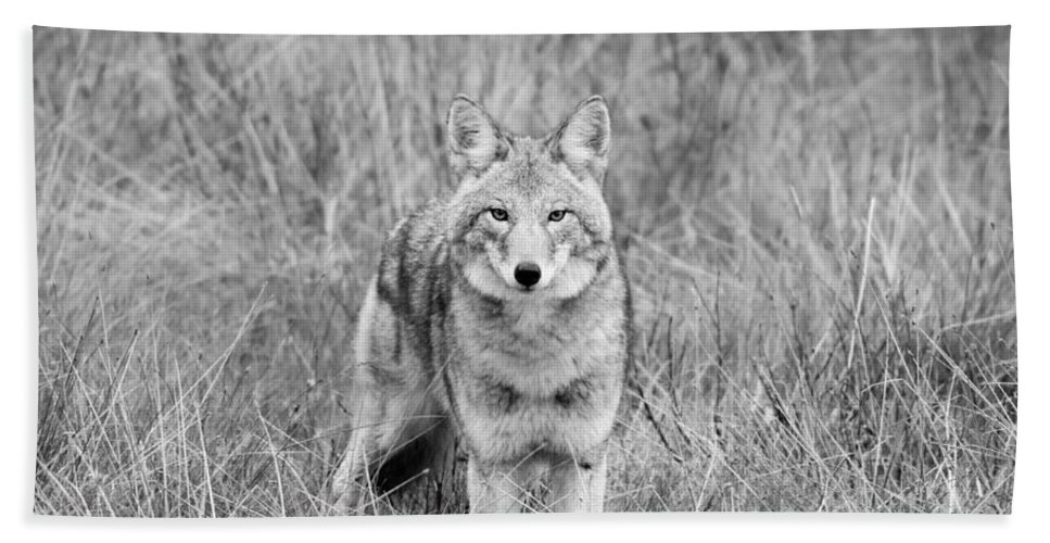 Coyote Bath Sheet featuring the photograph A Mutual Curiosity by Shannon Carson