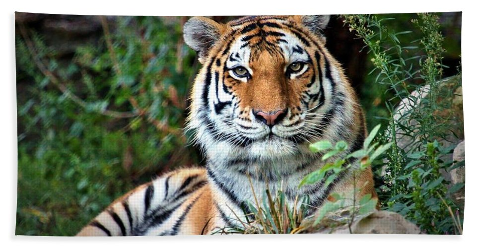 Amur Tiger Bath Sheet featuring the photograph A Tigers Glance by Christopher Miles Carter
