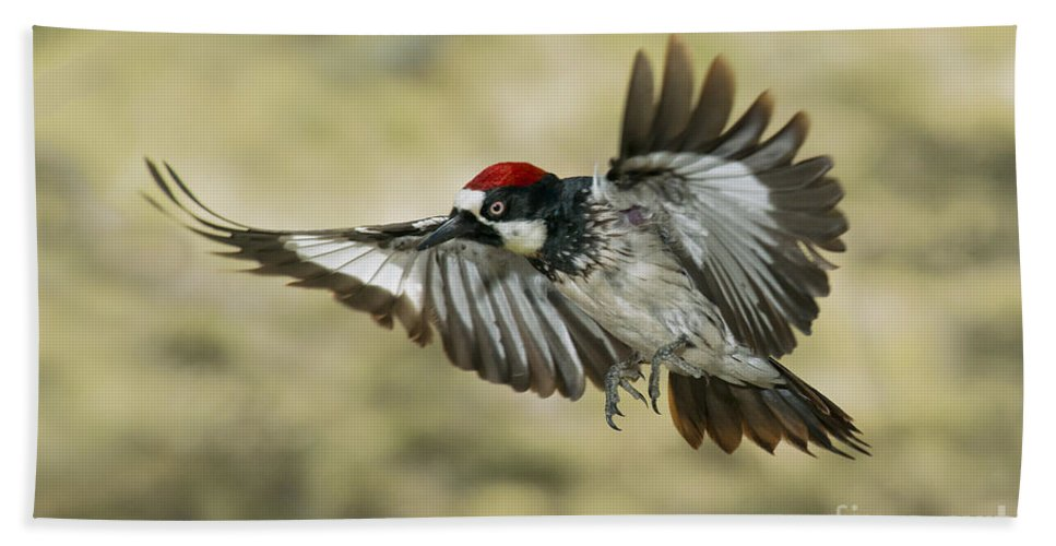 Acorn Woodpecker Hand Towel featuring the photograph Acorn Woodpecker by Anthony Mercieca