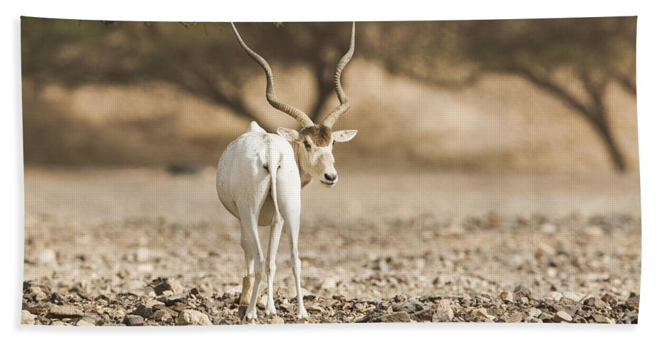 Addax Nasomaculatus Hand Towel featuring the photograph Addax Addax Nasomaculatus by Eyal Bartov