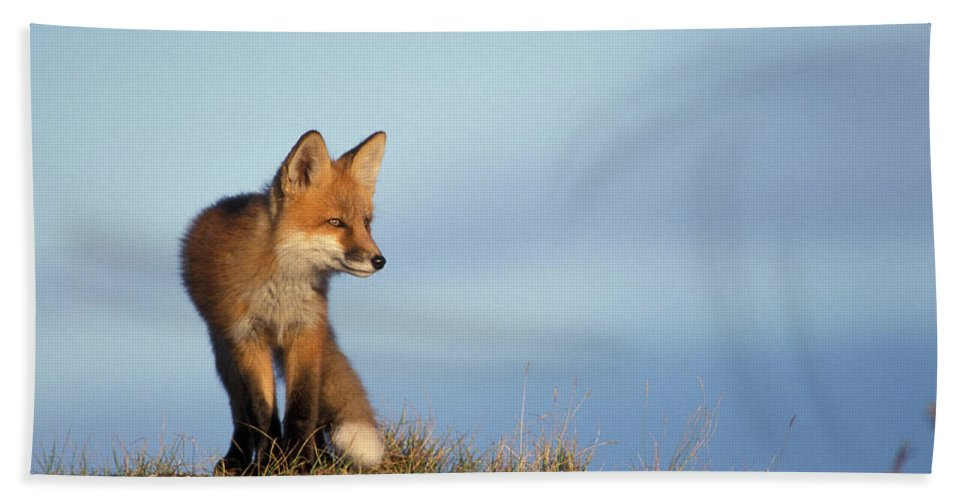 Adult Bath Sheet featuring the photograph Adult Red Fox On The Tundra In Late by Steven J. Kazlowski / GHG