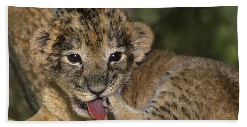 African Lion Hand Towel featuring the photograph African Lion Cub Wildlife Rescue by Dave Welling