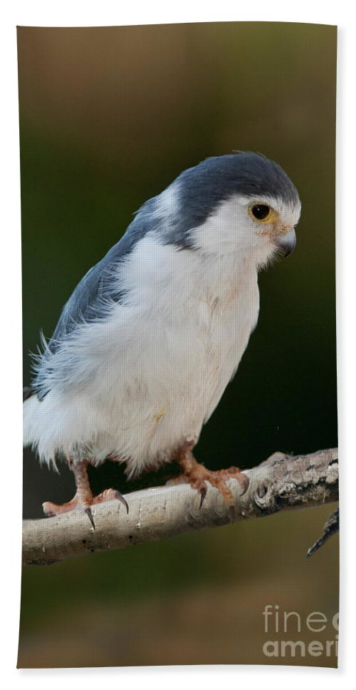 P. Semitorquatus Hand Towel featuring the photograph African Pygmy Falcon by Anthony Mercieca