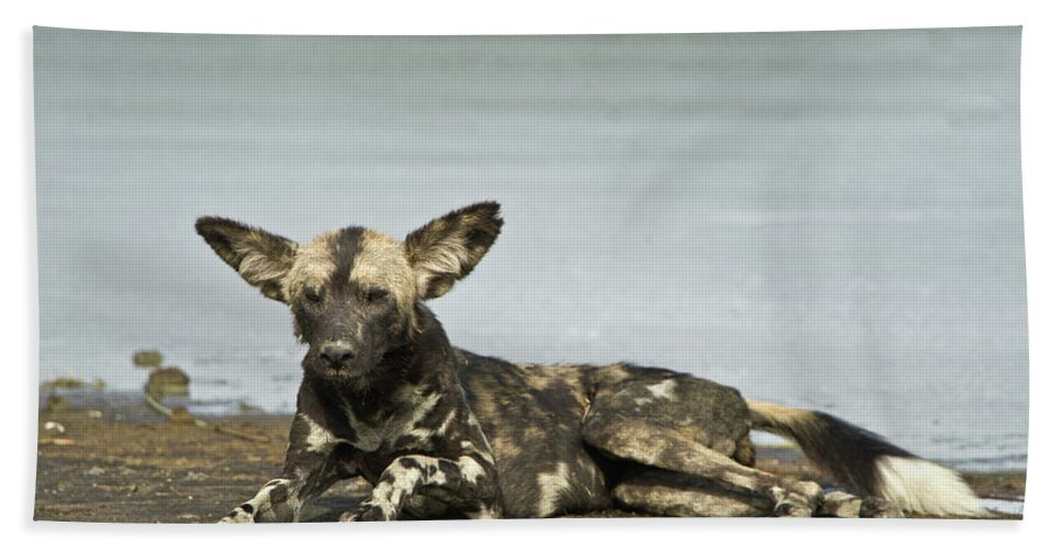 Photography Hand Towel featuring the photograph African Wild Dog Lycaon Pictus Lying by Animal Images
