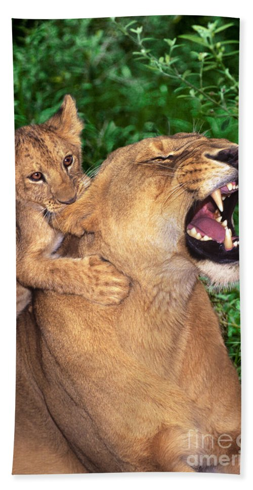 African Lions Hand Towel featuring the photograph Ah Being A Mother Is Wonderful African Lions Wildlife Rescue by Dave Welling