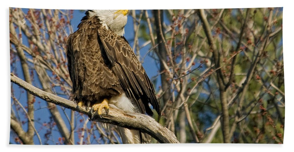 Eagle Hand Towel featuring the photograph Ahh by Claudia Kuhn