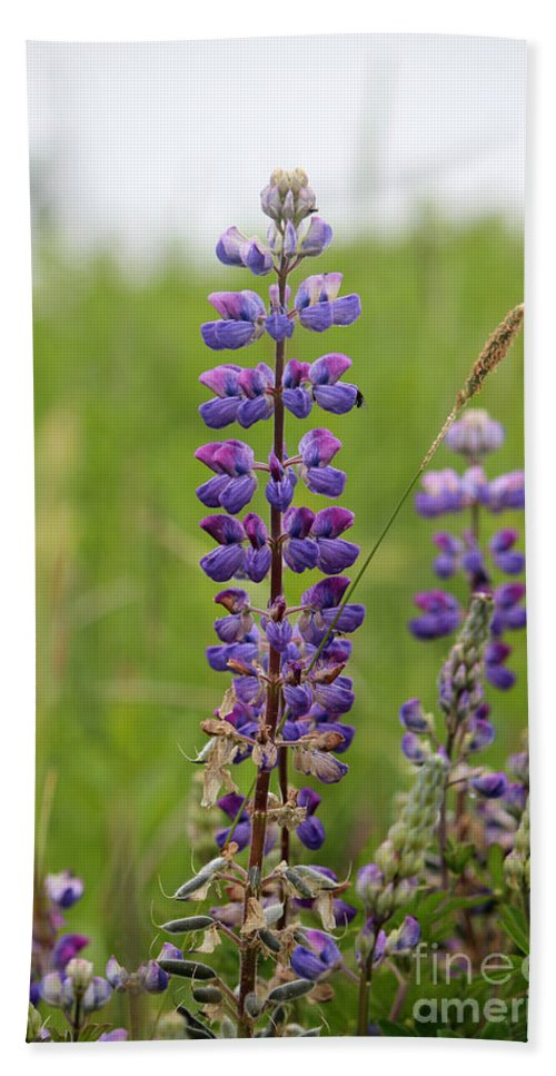 Lupines Hand Towel featuring the photograph Alaskan Lupines by Stacey May